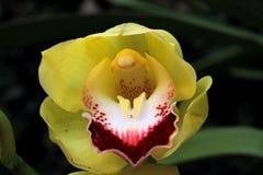 Фото макроса большого желтого цветка орхидеи стоковая фотография rf