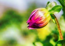 Фото макроса бутона цветка стоковая фотография