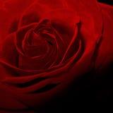 Фото макроса винтажной тени цветка красной розы темное Стоковые Изображения RF
