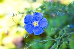 Фото макроса голубого цветка поля стоковое фото rf