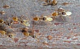 Фото макроса группы в составе крошечные муравьи нося куколок и ход дальше стоковые изображения rf