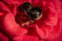 Фото макроса для пчелы на цветке красной розы Стоковая Фотография RF