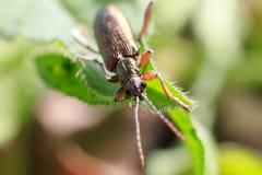 фото макроса жука Конец-вверх жука на лист пива Стоковая Фотография RF