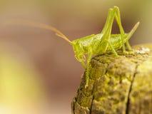 Фото макроса зеленого кузнечика Стоковая Фотография