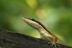 Фото макроса зеленой ящерицы в природе Стоковая Фотография RF