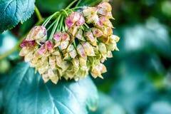 Фото макроса зрелых семян куста Стоковое Фото