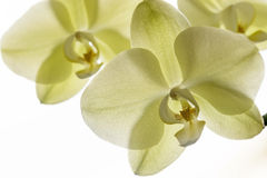 Фото макроса и конца-вверх орхидеи стоковое фото rf