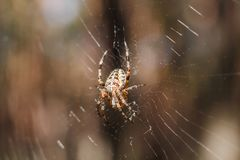 Фото макроса конца-вверх паука Паук соткет сеть паука Конец-вверх Araneus сидит на паутине Фото diadematus Araneus Стоковые Фотографии RF