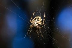 Фото макроса конца-вверх паука Паук соткет сеть паука Конец-вверх Araneus сидит на паутине Фото Araneus Стоковое Фото