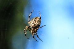 Фото макроса конца-вверх паука Паук соткет сеть паука Конец-вверх Araneus сидит на паутине Фото diadematus Araneus Стоковое Изображение RF