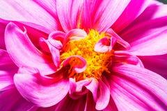 Фото макроса красной хризантемы Стоковое фото RF