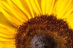Фото макроса красочного солнцецвета Стоковые Фотографии RF