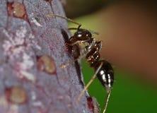 Фото макроса крошечного черного муравья сада на цветке фламинго стоковое изображение