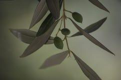 Фото макроса оливкового дерева Стоковые Фото