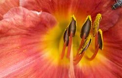 Фото макроса оранжевого цветка Lilly с цветнем Стоковое Изображение