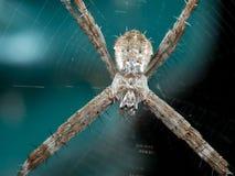 Фото макроса паука Андрея Первозванного перекрестного на сети изолированного на предпосылке стоковая фотография rf
