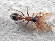 Фото макроса паука муравья мимического скача сдерживая на добыче на белизне стоковая фотография rf