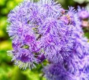 Фото макроса пурпура Стоковые Изображения