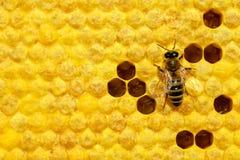 Фото макроса пчелы меда на соте с личинками пчелы пчелы начиная воспроизводство личинок сотов Выводки пчел стоковое изображение