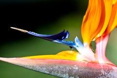 Фото макроса райской птицы или крупного плана reginae strelitzia или Strelitzia цветка крана Стоковая Фотография