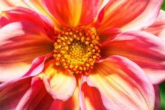 Фото макроса розовой хризантемы Стоковое Изображение