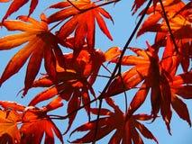 Фото макроса с декоративной текстурой вычисляемых красных кленовых листов на предпосылке голубого неба Стоковая Фотография