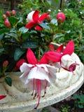 Фото макроса с декоративной текстурой предпосылки красивых цветков засаживает fuchsia лепестки фиолетовые и розовый цвет Стоковые Изображения RF