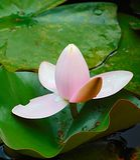 Фото макроса с декоративной текстурой предпосылки цветка лилии воды от семьи лилий herbaceous завода Стоковая Фотография RF