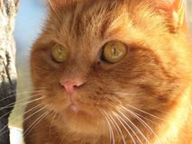 Фото макроса с декоративным концом-вверх предпосылки головы ` s кота с красными волосами и желтым цветом наблюдает стоковые фотографии rf