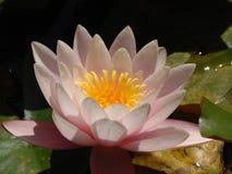 Фото макроса с лепестками декоративной текстуры предпосылки лета фиолетовыми сада цветет лилия воды Стоковое Фото