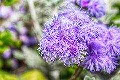 Фото макроса фиолетового ageratum цветка Стоковое фото RF
