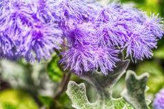 Фото макроса фиолетового ageratum цветка Стоковая Фотография