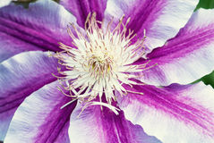 Фото макроса фиолетового цветка Стоковое Фото