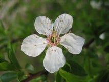 Фото макроса цветка весны с ветвями белых лепестков декоративными цветя фруктового дерев дерева в ландшафте сада Стоковое Изображение RF
