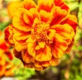 Фото макроса цветка гвоздики Стоковые Фотографии RF