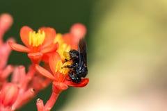 Фото макроса цветка пчелы конца крайности цветка Arapua пчелы опыляя вверх - опыляя Стоковая Фотография RF