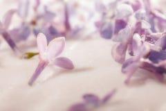 Фото макроса цветка сирени Стоковое Фото