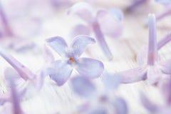 Фото макроса цветка сирени Стоковая Фотография