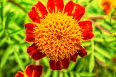 Фото макроса цветков сада красно-апельсина Стоковые Фото