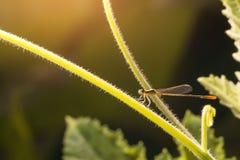Фото макроса dragonfly на лист, dragonfly насекомое в arthropoda Стоковые Фото