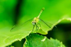 Фото макроса dragonfly на лист, dragonfly насекомое Стоковые Изображения