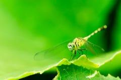 Фото макроса dragonfly на лист, dragonfly насекомое Стоковое Изображение
