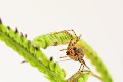 Фото макроса tepidariorum Achaearanea паука дома когда оно как раз начало сделать свою сеть стоковые изображения