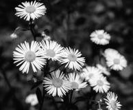 Фото маргариток на зеленой предпосылке черно-белой Стоковое Изображение RF