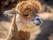 Фото меховой альпаки стоковое фото