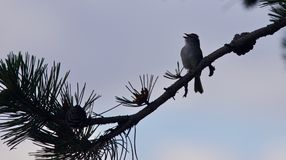 Фото милой птицы поя пока сидящ Стоковое Изображение