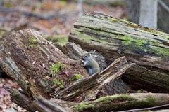 Фото милой белки в лесе Стоковое Фото