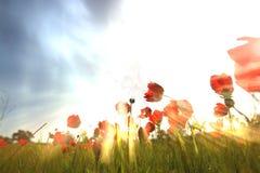 Фото низкого угла красных маков против неба с взрывом света изображение ретро тонизированный фильтр Стоковое Фото