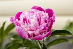 Фото пиона цветка Стоковое Изображение RF