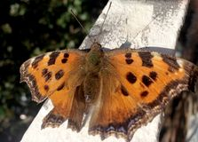 Фото показывает красивый тропический монарха бабочки Стоковые Фото
